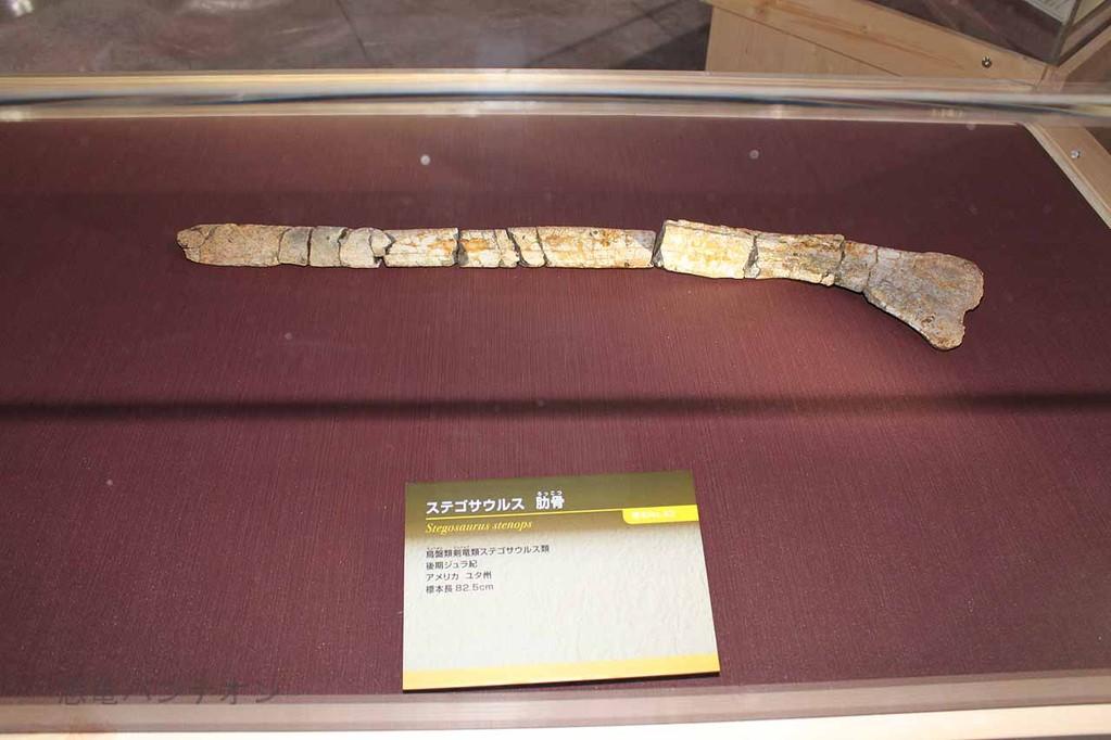 ステゴサウルス肋骨