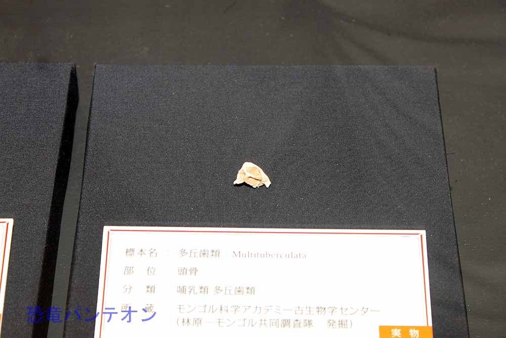 多丘歯類(哺乳類 実物化石)