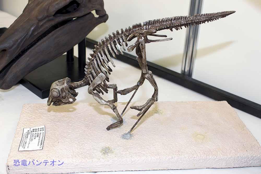 マイアサウラ幼体骨格レプリカ20万円