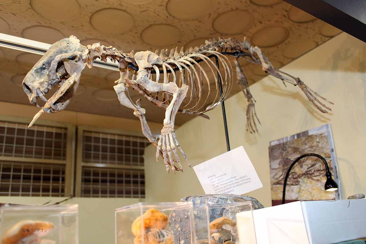 SAS Eldonia フランス産のカワウソの化石種、Potamotherium
