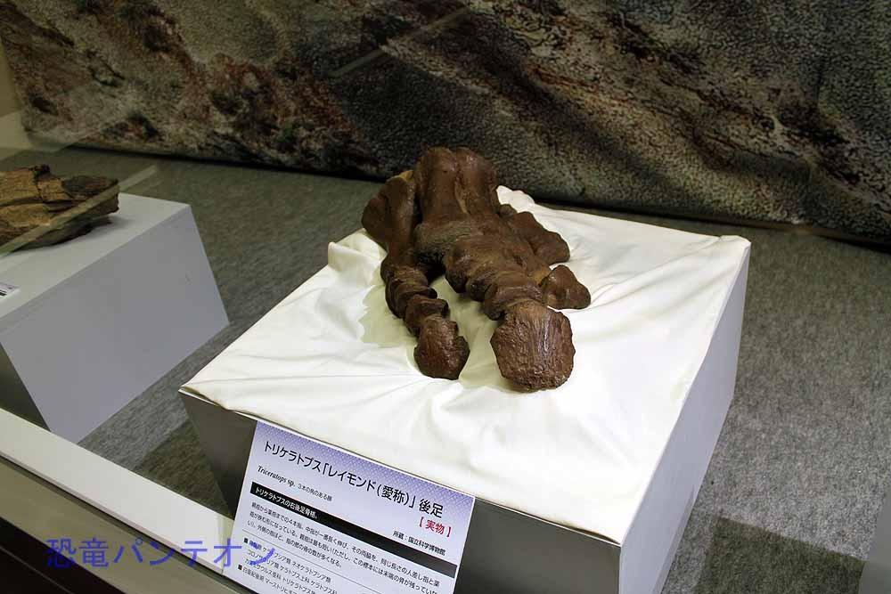 トリケラトプス「レイモンド」後足