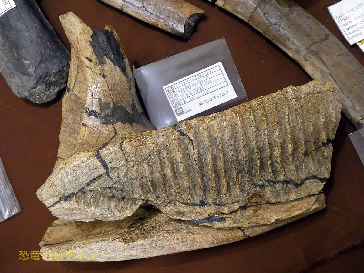 ランベオサウルス下顎 アメリカ・モンタナ州