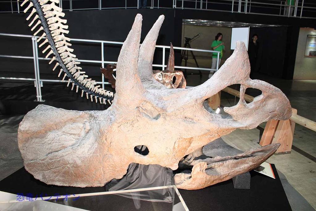 シノケラトプス頭骨