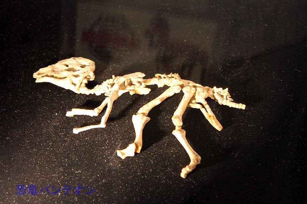 ハドロサウロイド類(実物化石) 幼体化石です
