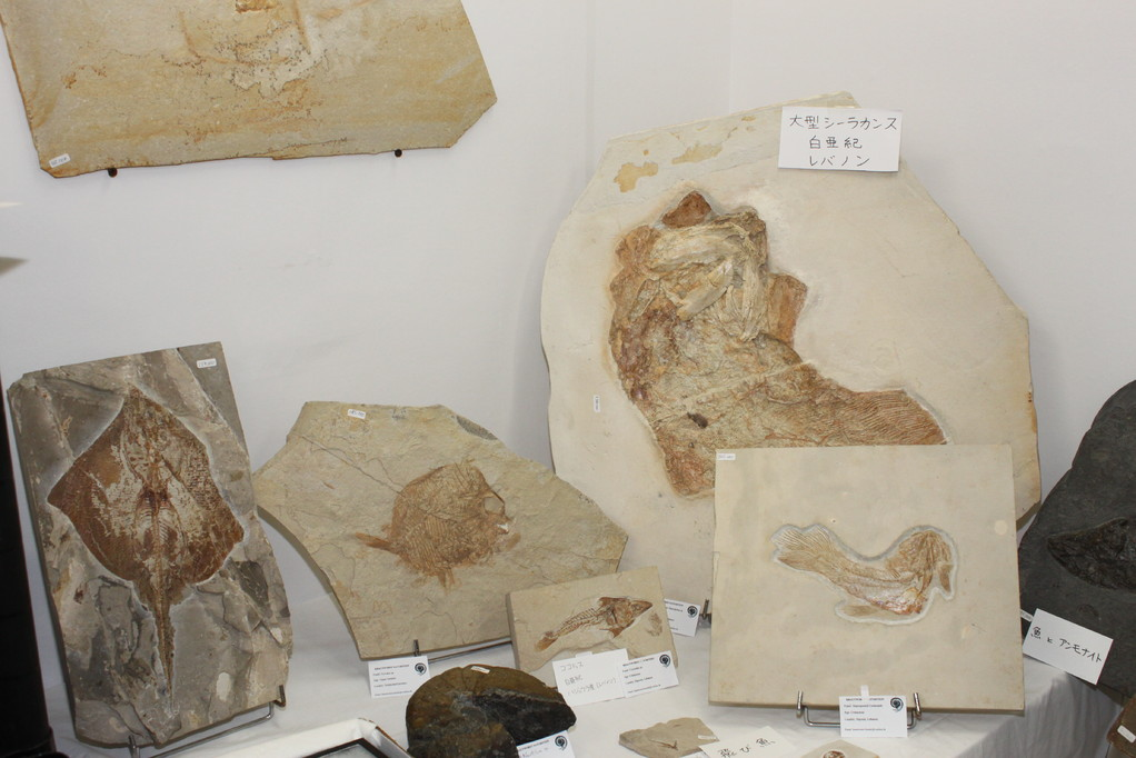 Krautworst Naturstein 白亜紀レバノンの大型シーラカンスほか魚類化石です。