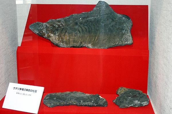 ウタツギョリュウの胸部の化石