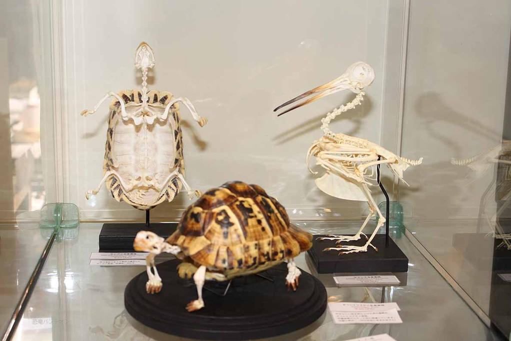 ミュージアム インポート(SB-2) 恐竜化石も置いていますが、ここでは現生を。手前のカメはギリシャリクガメ48,000円、奥ヤマシギ 49,000円 奥のカメは自分のメモが読めません。33,000円