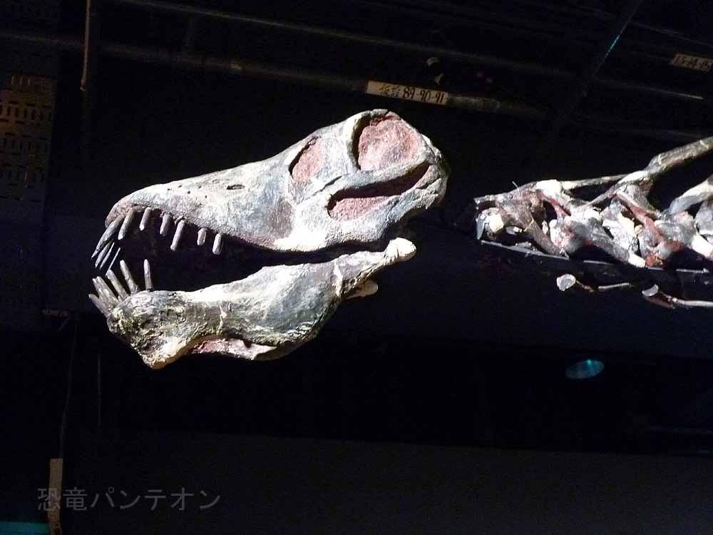 アマルガサウルスの頭部