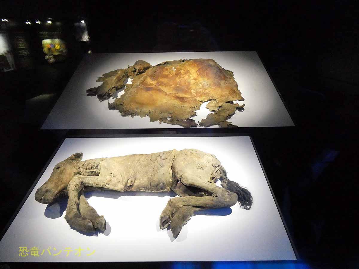 発掘された仔馬は、レナウマという種で、フジと名付けられている。 そしてケナガマンモスの皮膚