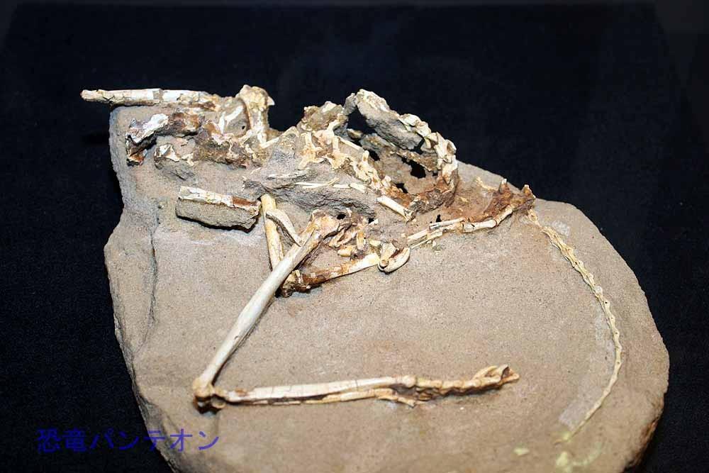 シュブウイア(実物化石)