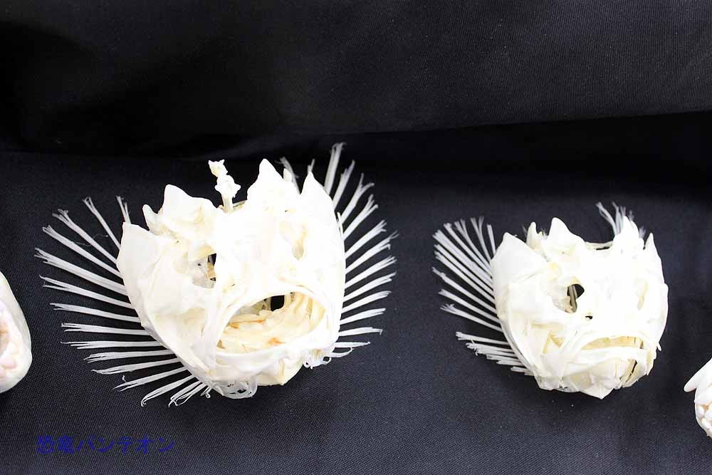 これはオニダルマオコゼ。居合わせた琉大の先生によると、腸がうまい高級魚だそうです。
