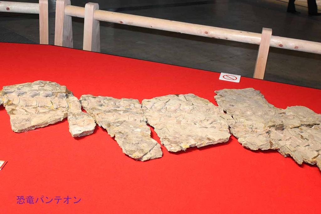 ユティランヌス・フアリの模式標本