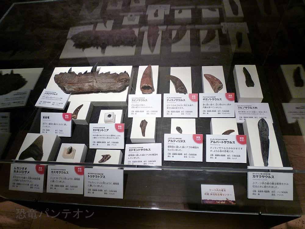いろいろな歯。実物化石も多いです。
