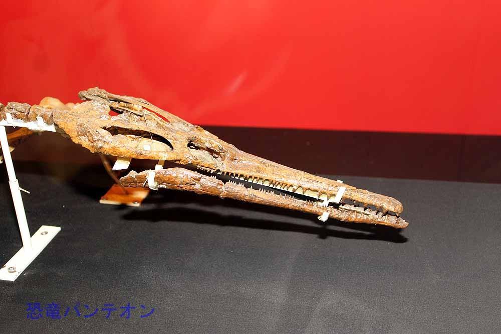 ネオコリストデラ類(実物化石)