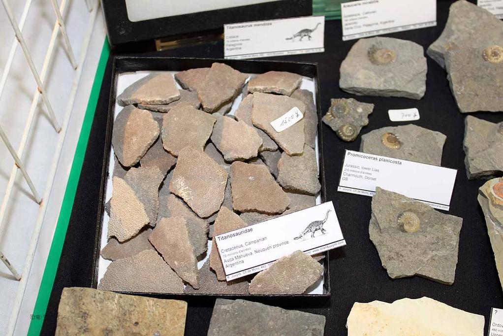 ティタノサウルス類卵破片。