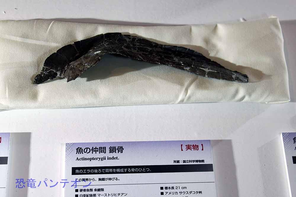 魚の仲間鎖骨