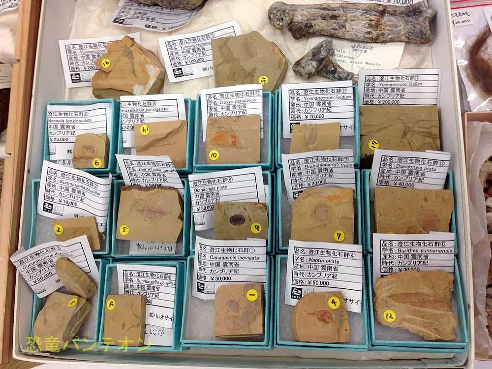 パレオサイエンスの一押し、チェンジャン(澄江)の化石です。