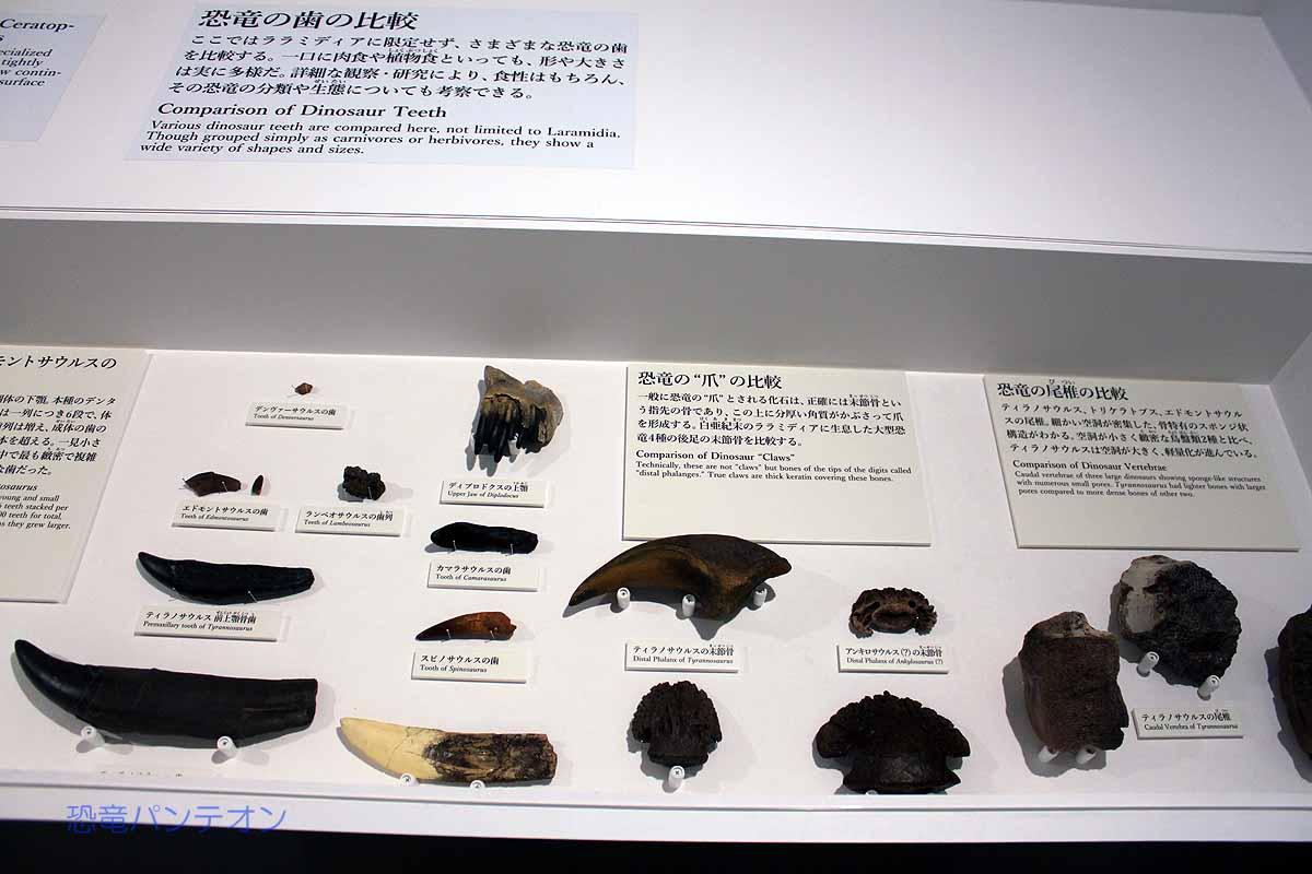 恐竜の後ろ足の爪(末節骨)の比較