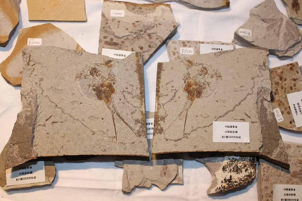 周益雅石社 カブトエビなんでしょうか。 白亜紀前期 約1億2000万年前。