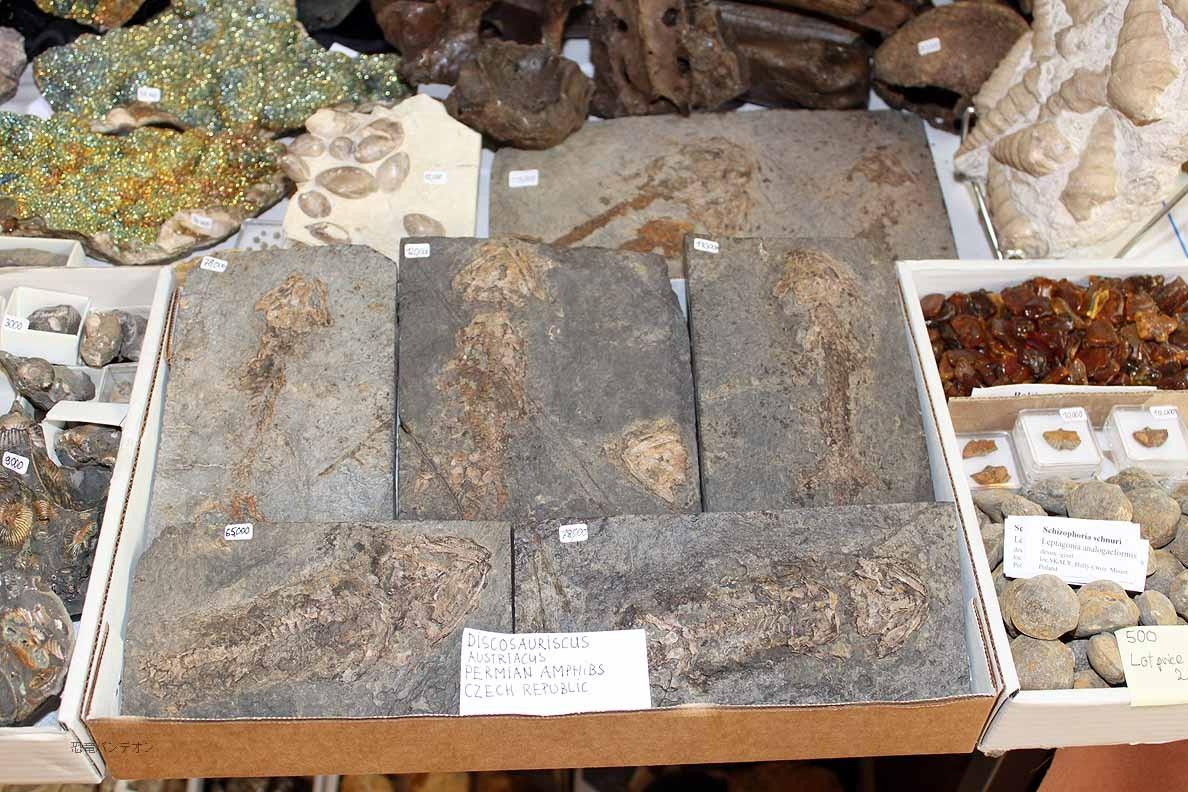 Mijo-Fossils チェコ産、ペルム紀の両生類、Discosauriscus