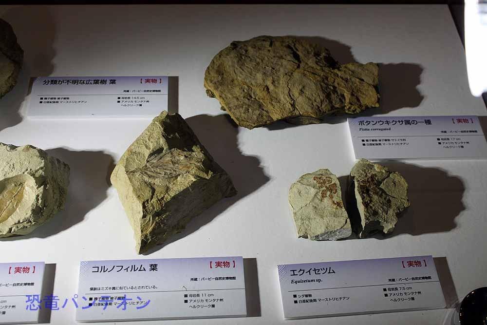白亜紀後期マーストリヒチアンの植物化石