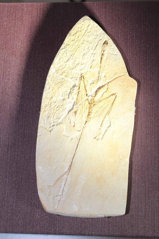主竜形類、シャロヴィプテリクス 滑空していました。原始的な羽毛を持っていたのでしょうか
