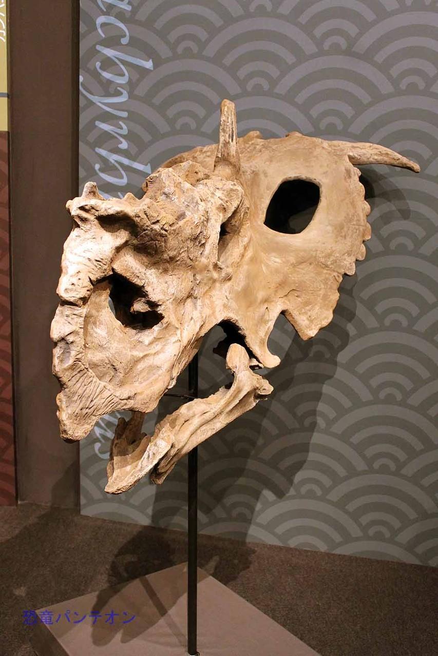 パキリノサウルス Pachyrhinosaurus カナダ・アルバータ州から。