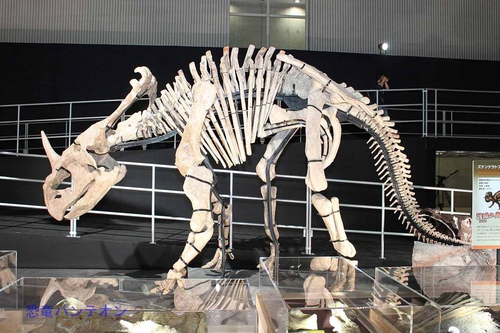 ズケンケラトプス全身骨格。アジアと北米をつなぐケラトプス類のミッシングリンクとも言われています。
