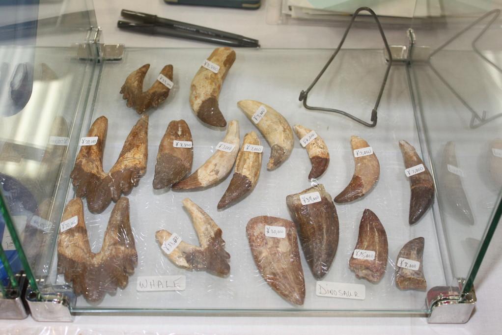 Sahara sea Collection-Doc Fossil クジラの歯や恐竜の歯