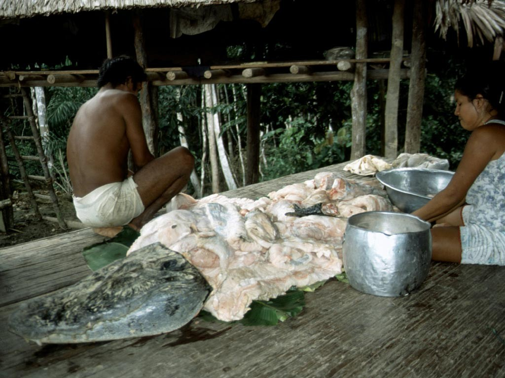 Das Kaimanfleisch wird aufgeteilt.