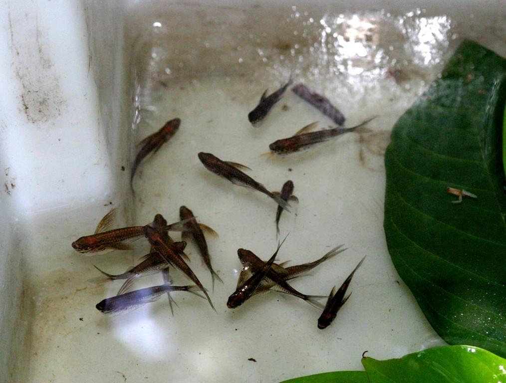 In diesem versteckten Gebiet leben Beilbauchfische (hier: Carnegiella strigata) in großen Massen.