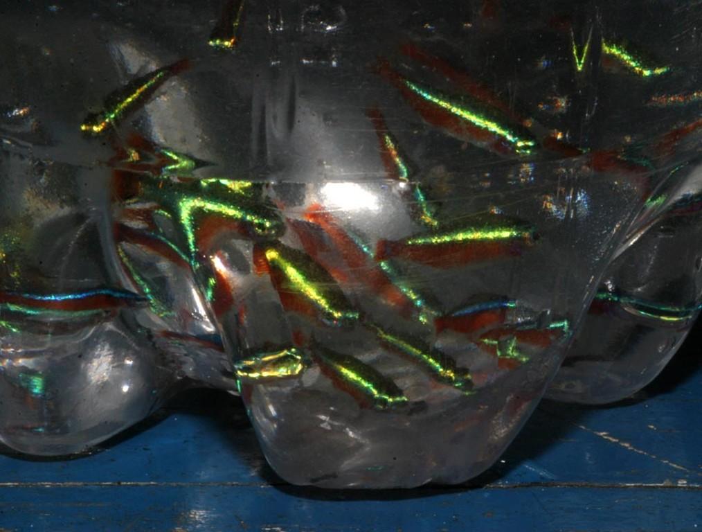 Unter den Neonfischen haben wir auch einige gelbliche Exemplare gesehen. Obwohl die Neonfische seit fünfzig Jahren hier in Massen gefangen werden, gibt es nach wie vor sehr viele von ihnen.