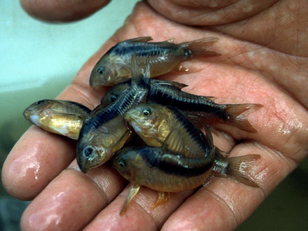 Um verschiedene Fische und hier vor allem unterschiedliche Panzerwelsarten zu finden, muss man mehrere Kilometer flussaufwärts alle möglichen Stellen absuchen.