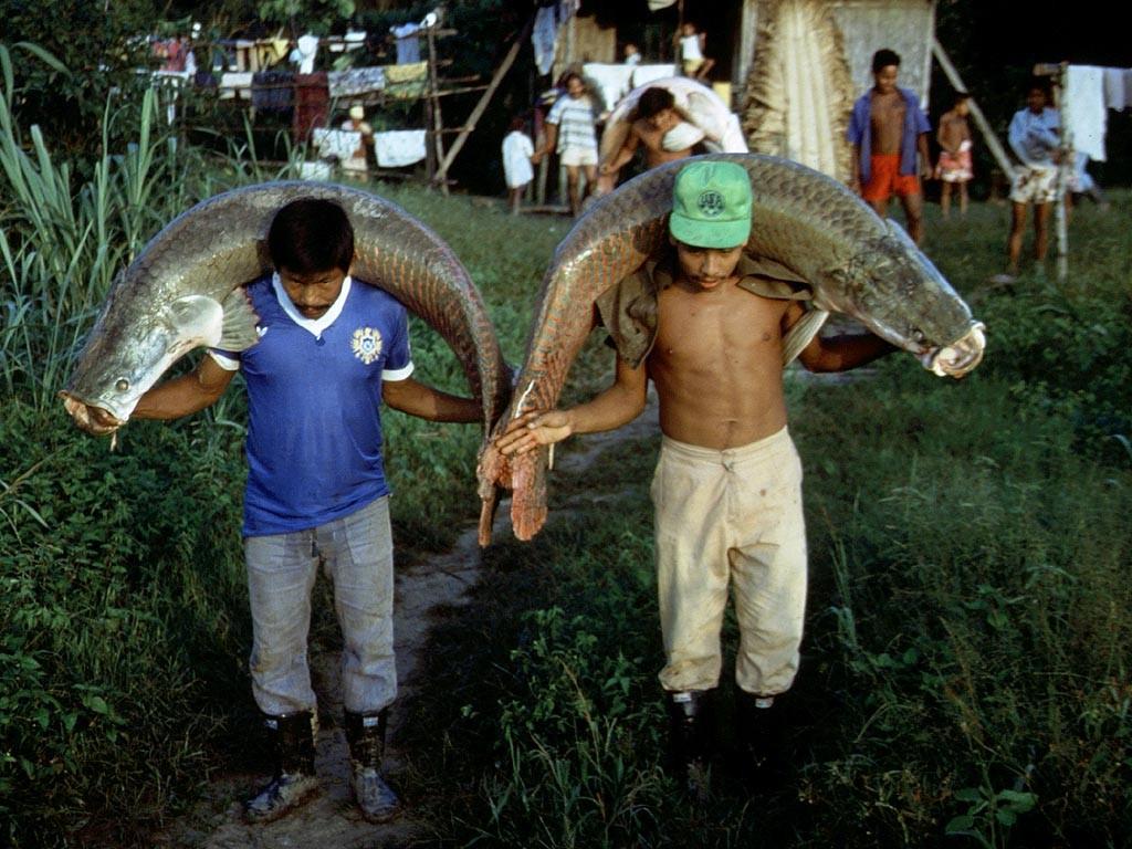 In der Nacht werden die geschützten Arapaimas (Arapaima gigas) in einem Restgewässer geschlachtet und am Morgen vom Waldsee zum Fluss getragen.