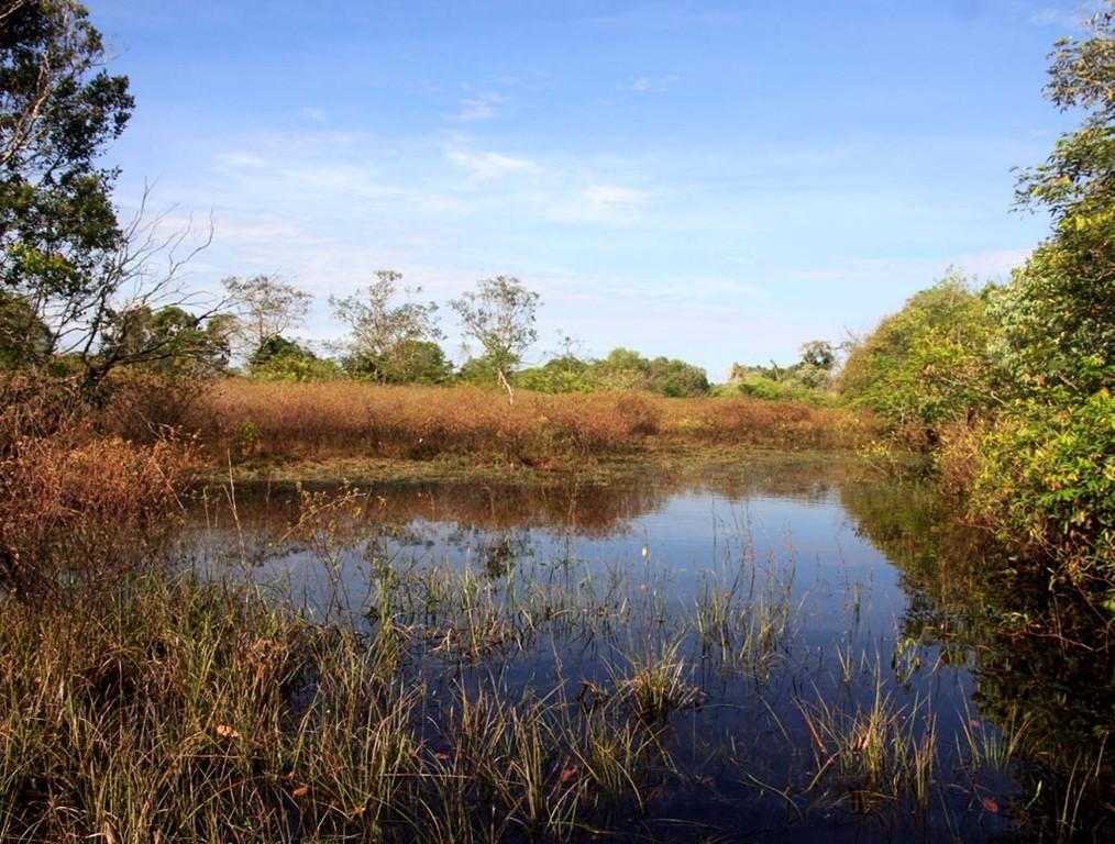 Auf dieser Schwarzwasser-Überschwemmungswiese vermehren sich Rotkopfsalmler (Hemigrammus bleheri).