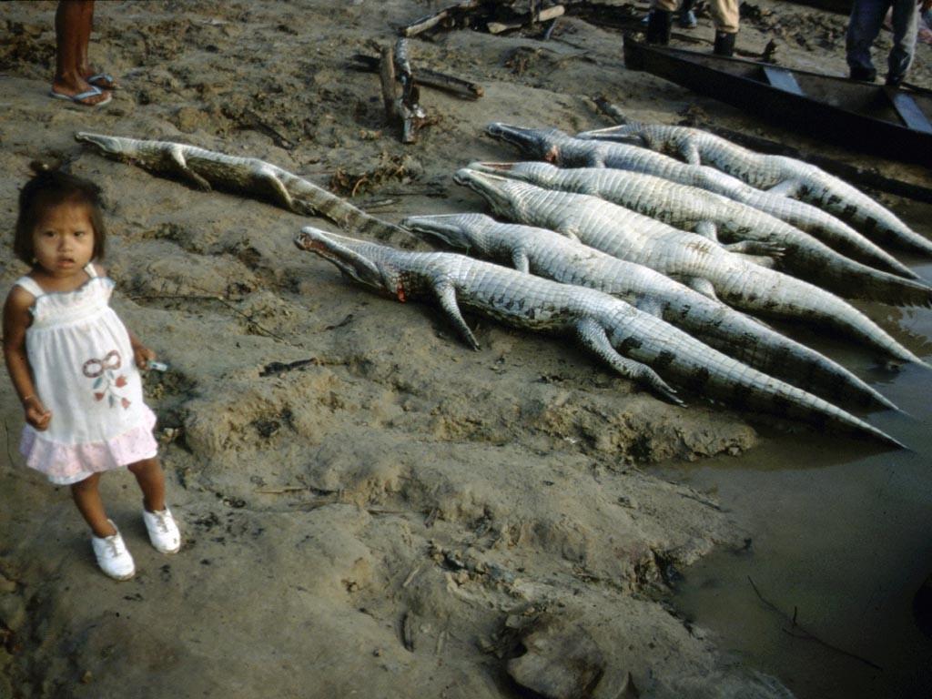 Die Arapaimas und wie hier im Bild zu sehen die Kaimane werden in Booten, die mit entsprechend großen Gefrierschränken ausgestattet sind, nach Tabatinga und Leticia gebracht, an Hotels verkauft und dort von Touristen gegessen.