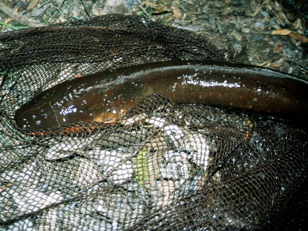 Der Zitteraal (Electrophorus electricus) ist eigentlich kein Aal, sondern ein Messerfisch, er kann 2,80 Meter lang und 20 Kilogramm schwer werden. Mittels starker Stromschläge kann er sich gut verteidigen.