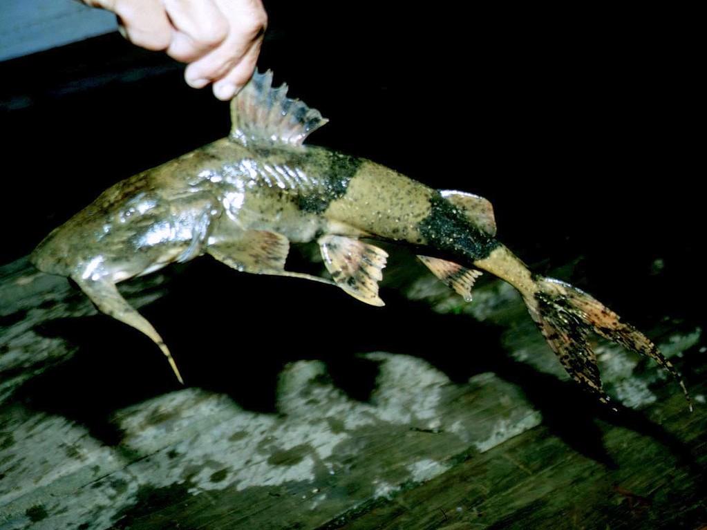 Teufelswels (Bagarius yarelli). Dieser Gebirgswels lebt in höheren Lagen in kühlerem Wasser und kann 2 Meter lang werden.