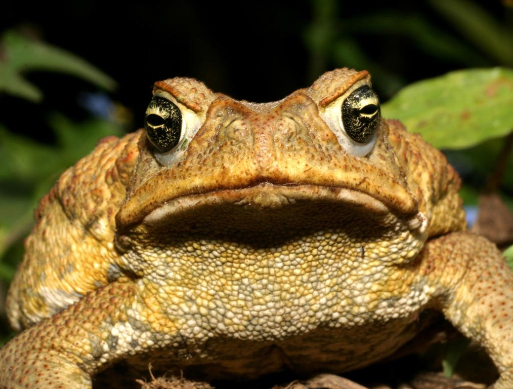 Die Weibchen der Rokokokröte (Bufo paracnemis) werden bis 25 Zentimeter lang und bis zu zwei Kilogramm schwer.