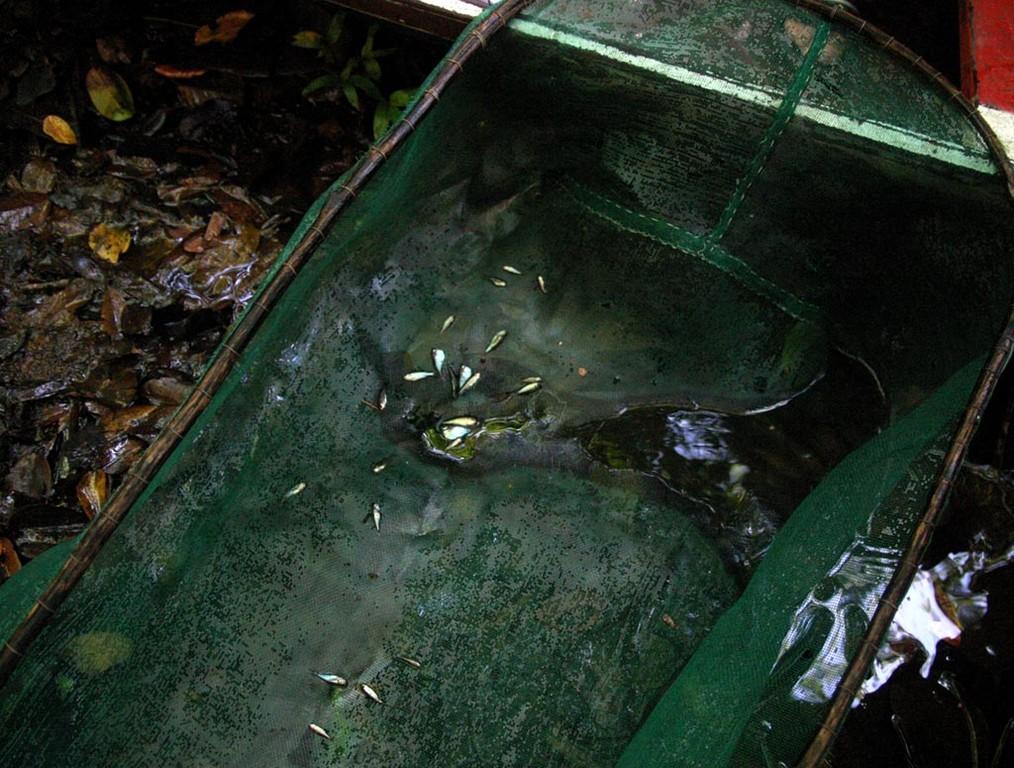 Die Beilbauchfische leben in dieser überfluteten Landschaft zurückgezogen unter dichtem Laubstreu, die Bäume ringsum spenden zusätzlich Schatten.