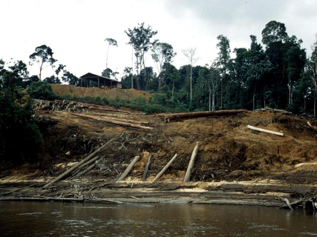 Nach mehrmaligem Abbrennen des Unterholzes wurden die freistehenden Baumstämme gefällt und über neu angelegte Zubringerstraßen zum Mahakam transportiert.
