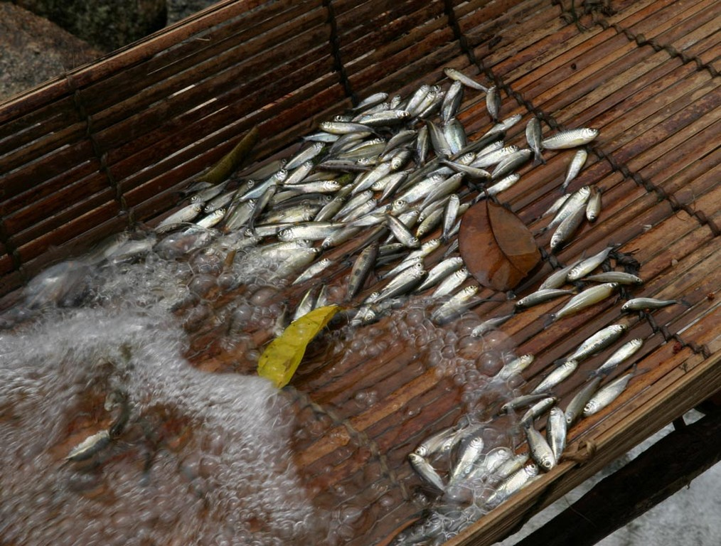 Die kleinen Fischchen werden geräuchert und später am Markt in São Gabriel verkauft.