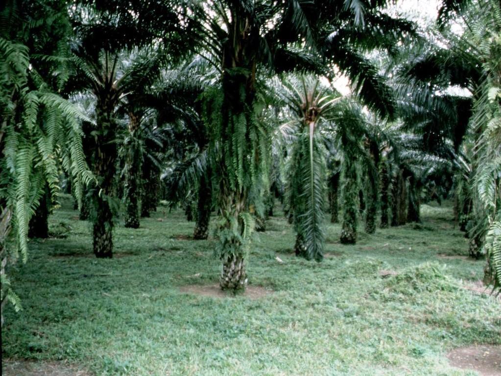 In riesigen Gebieten wurden Plantagen mit Ölpalmen angelegt.