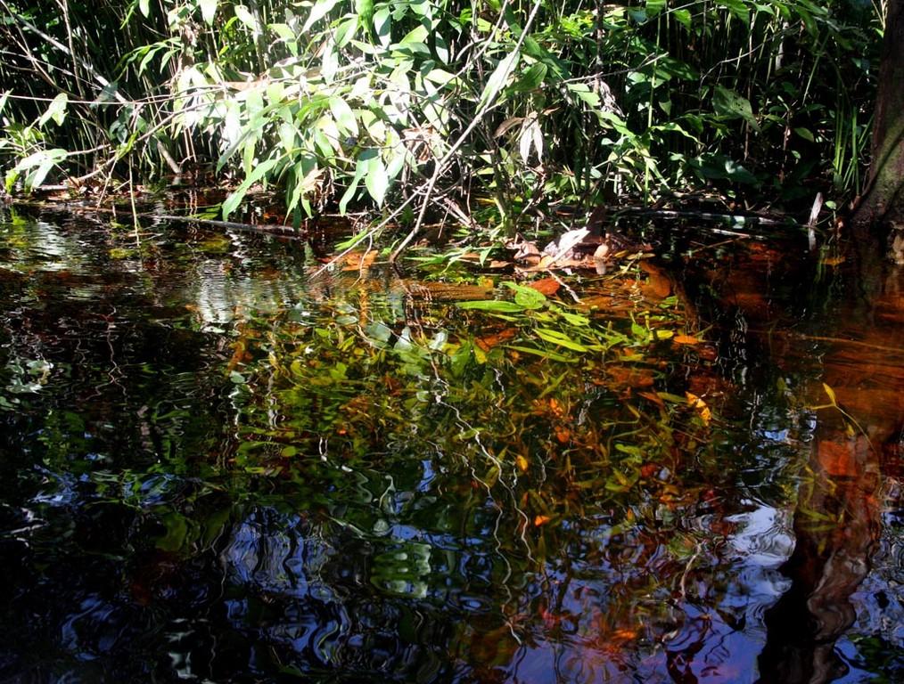 Die Riesen–Haarnixe (Cabomba aquatica) steht hier in grüner und roter Färbung in zwei Meter tiefem Wasser.