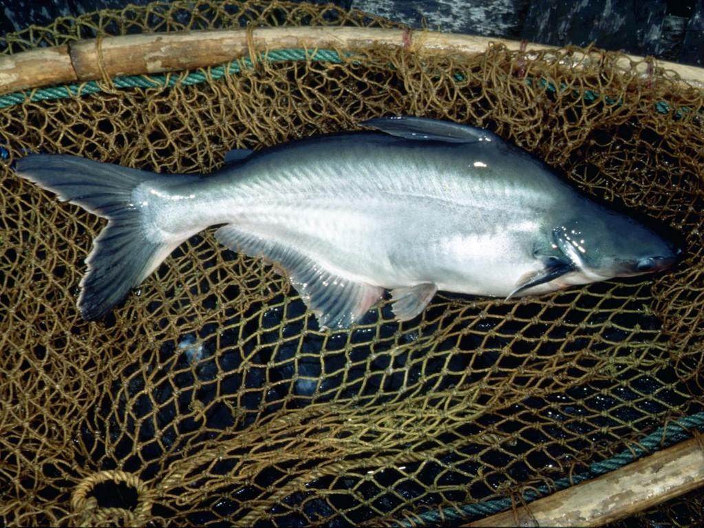Der Haiwels (Pangasius sutchi) ist wegen seines weißen Fleisches der beliebteste Fisch zum Mästen - diese Welse werden lebend nach Singapur transportiert.