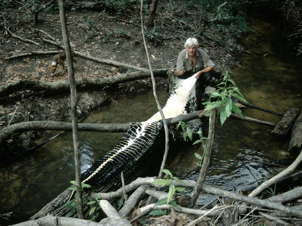 Mohrenkaiman (Melanosuchus niger): Die Haut (ohne Kopf) ist hier bereits rund 5 Meter lang.