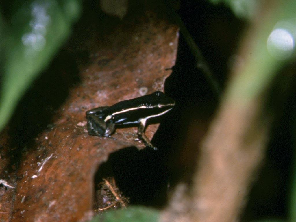 San Petro ist ein sehr froschreiches Gebiet. Im Bild der Pfeilgiftfrosch Ameerega hahneli (früher Epipedobates hahneli).