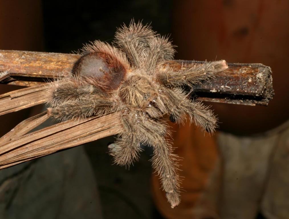 Es ist eine Avicularia spec., mit der Avicularia metallica verwandt.