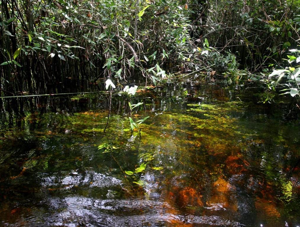 Vereinzelt gab es auch ein sehr großes Pfeilkraut (Sagittaria montevidensis), das aus dem Wasser ragte.