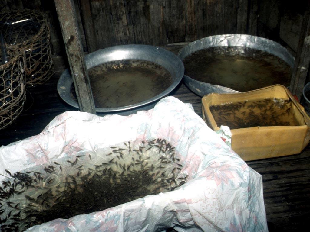 Die Welse können in sehr sauerstoffarmem Wasser überleben.